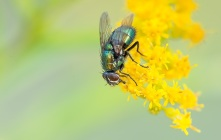 fly-macro-nature-insect-46526