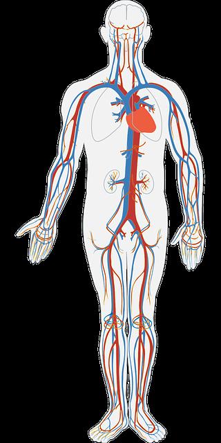 human-body-311864_640.png